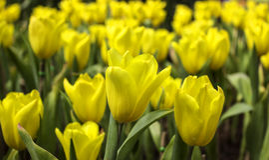 Tulip Field Fotos de archivo libres de regalías