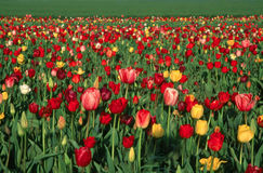 Tulip Field. This image as taken at a tulip farm outside of Portland, OR Royalty Free Stock Images