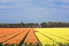 Tulip Field Fotografia de Stock