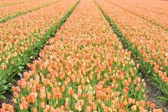 Tulip Field Fotos de Stock Royalty Free