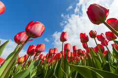 Tulip Field Photographie stock