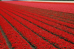 Tulip field. Red, pink and white tulip field in Holland during spring time royalty free stock image
