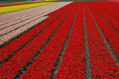 Tulip field. Dutch scenery in spring time: tulip fields stock photo