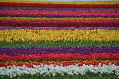 Tulip Field Fotos de Stock