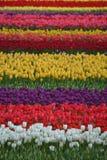 Tulip Field Imagem de Stock