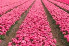 Tulip Field Royalty-vrije Stock Fotografie