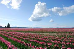 Tulip Field. Mount vernon, WA. Tulip festival Stock Photo