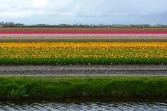 Tulip Field Immagini Stock Libere da Diritti