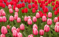 Tulip field. Pink and red Tulips field Stock Image