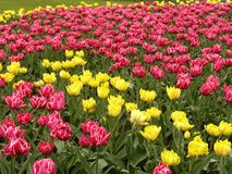 Tulip field. Red and yellow Tulip field Royalty Free Stock Photography