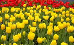 Tulip field. Yellow Tulip field Stock Image