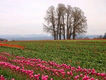 Tulip Field Fotografía de archivo libre de regalías