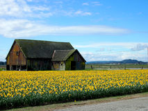 Tulip Field Fotos de archivo