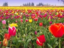 Tulip Field Imagenes de archivo