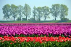 Tulip Field Lizenzfreies Stockfoto