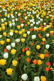 Tulip field Royalty Free Stock Photos