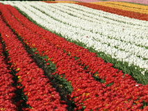 Tulip field. With red and white blossoms Royalty Free Stock Image