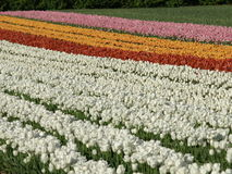 Tulip field. With blossoms in different colors Royalty Free Stock Image