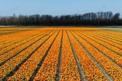 Tulip Field Lizenzfreie Stockfotos