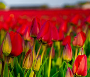 Tulip Field Stockfoto