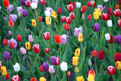 Tulip Field Image stock
