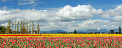 Tulip Field. Tulip Festival at Skagit Valley in Mount Vernon, WA Stock Images