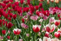 Tulip Field Fotografia Stock Libera da Diritti