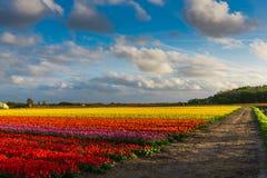 Tulip Field Fotografia de Stock Royalty Free