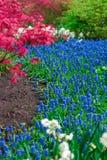 Tulip Field Imagens de Stock