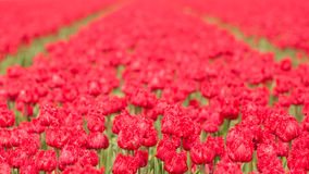 Tulip field on agricultural land Royalty Free Stock Photography