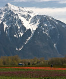 Tulip Field And Majestic Mount Royalty Free Stock Image