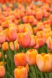 Tulip Field arancio nel verticale di primavera Fotografia Stock