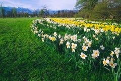 Tulip field in Arboretum, Slovenia, Europe royalty free stock photos