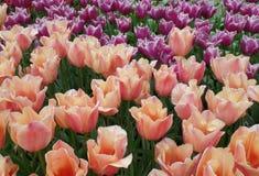 Tulip Field av pastellfärgade rosa färger med orange och magentafärgade blomma blommor för ljus -, vårträdgård i Nederländerna Arkivfoton