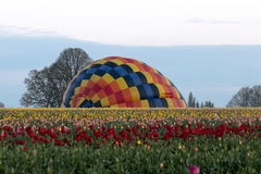 Tulip Field with Ballon. Inflating Hot Air Balloon over Tulip flower field Royalty Free Stock Image