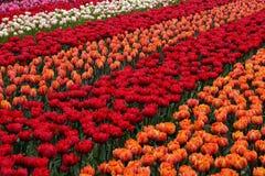 Tulip Field. Beautiful tulip flower on field at botanical garden, Netherlands Stock Photo