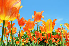 Tulip Field. Of beautiful oranges, yellows and a blue sky Royalty Free Stock Image