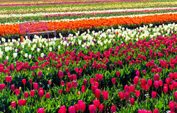 Tulip Field and Bench Stock Photography