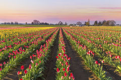 Tulip Field in Bloom at Sunrise Royalty Free Stock Photos