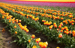 Tulip field in bloom Stock Photos