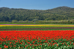Tulip field in british columbia Royalty Free Stock Image