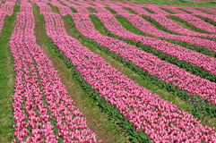 Tulip field in british columbia Stock Photography