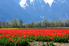 Tulip field in british columbia Royalty Free Stock Photography