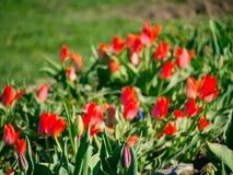 Tulip Field Campo com tulipas vermelhas Grupo de tulipas vermelhas no p Imagens de Stock Royalty Free