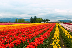 Tulip field with colorful rows of flowers Royalty Free Stock Photos