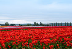 Tulip field with colorful rows of flowers Royalty Free Stock Photography
