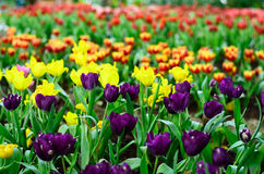 Tulip field. Colorful tulip spring field season royalty free stock images