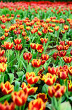 Tulip field. Colorful tulip spring field season Stock Photo