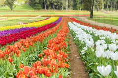 Tulip field with colourful flowers Stock Photography