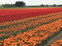 Tulip field. A field of cultivated orange and red  tulips Stock Photo